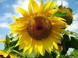 «ГРАН» пропонує насіння соняшника Дозор