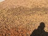 Грецкий орех (в скорлупе, очищенный вид). CEVIZ 2020 - фото 5