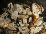 Гриб веселка сушеный яйцо - фото 1