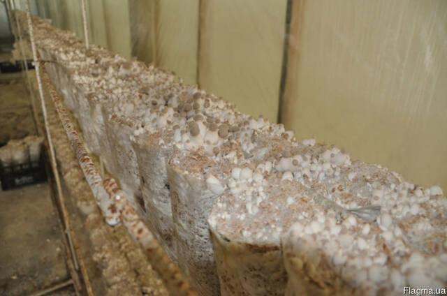 Белый степной гриб - семена (мицелий) вешенки королевской