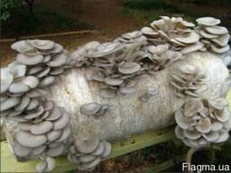 Грибница вешенки - семена грибов почтой. Настоящий мицелий!