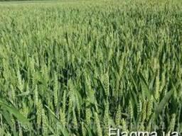 Гумат калия усиленная подкормка пшеницы, ячменя и ткд.