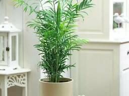 Хамедорея - бамбуковая пальма.