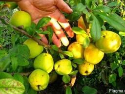 Хеномелес семена (10шт)айва японская (насіння для саджанців)