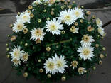 Хризантема ! Черенки весна 2018 год !!! - фото 3