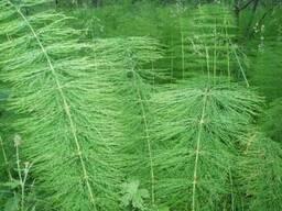 Хвощ полевой трава
