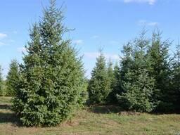 Хвойные деревья (Псевдотсуга) - фото 1