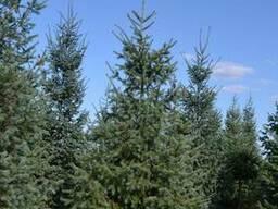 Хвойные деревья (Псевдотсуга) - фото 4