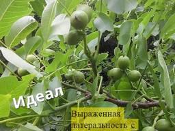 Саженцы грецкого ореха: 1й урожай через 1-2 года
