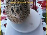 Индоперепела яйца инкубационные. - фото 6
