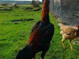 Инкубационное яйцо кур Иранский Лари - фото 2