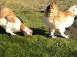 Инкубационное яйцо кур породы-Фавероль - фото 2