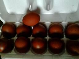 Инкубационное яйцо кур породы- маранс