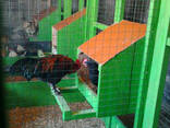 Инкубационное яйцо кур породы- маранс, фото 2