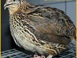 Инкубационное яйцо перепела и молодняк Фараон Испанский. - фото 3