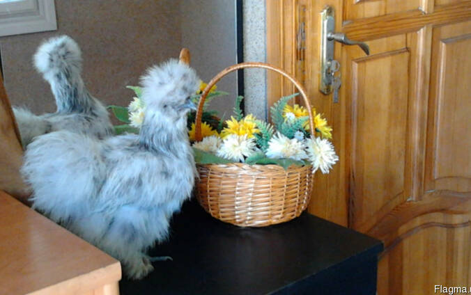 Инкубационное яйцо шёлковых кур 4 окраса