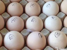 Инкубационные яйца (маркированные, миражированные) отправка