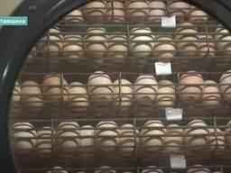 Инкубационные яйца мясо-яичных пород, бройлеры