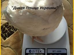 Инкубационные яйца перепела для маточного стада.