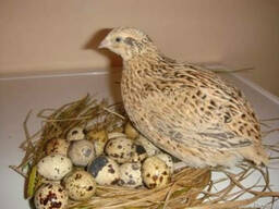 Инкубационные яйца перепела породы Феникс Золотистый бройлер