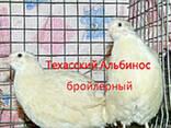 Инкубационные яйца перепела породы Техасский Альбинос бройле - фото 1