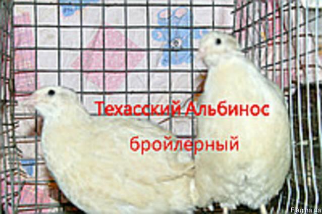 Инкубационные яйца перепела породы Техасский Альбинос бройле