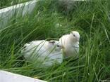 Инкубационные яйца перепела породы Техасский Альбинос бройле - фото 2