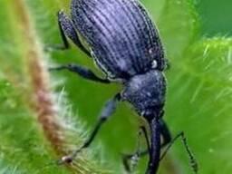 Инсектицид Антигусеница- Антигусінь (Оперкот, Карате Зеон)