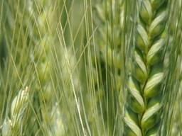 Інтенсивний сорт озимої пшениці Подолянка