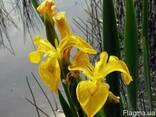 Ирис болотный корень, півники болотні, касатик болотный - фото 1