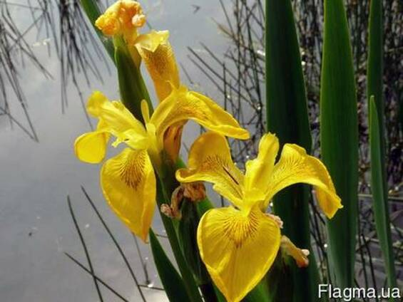 Ирис болотный корень, півники болотні, касатик болотный