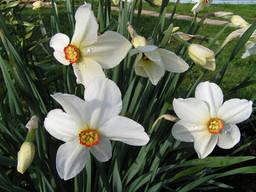 Нарциссы белые и жёлтые с луковицами, рассада
