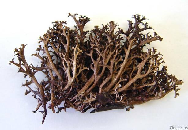 Исландский мох (Getraria islandia)