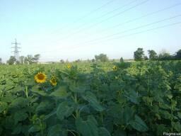 Качественные семена подсолнечника