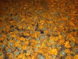 Календула суха (цвіт)