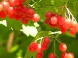 Калина,ягода.