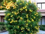 Кампсис Текома Flava (Флава) - желтые цветы! - фото 1