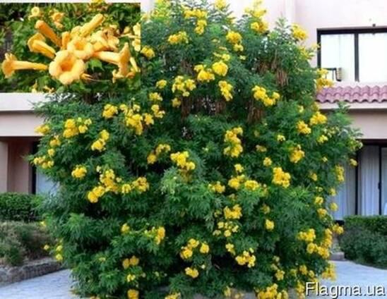 Кампсис Текома Flava (Флава) - желтые цветы!