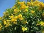Кампсис Текома Flava (Флава) - желтые цветы! - фото 3