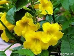 """Кампсис Текома """"Flava"""" - желтые цветы!"""