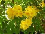 Кампсис Текома Flava (Флава) - желтые цветы! - фото 5