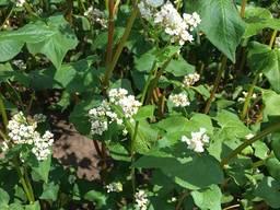 Канадские семена гречихи Гренби - фото 3