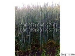 Канадский элитный сорт яровой пшеницы двуручки Amadeo