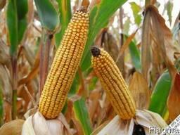 Канадский гибрид кукурузы