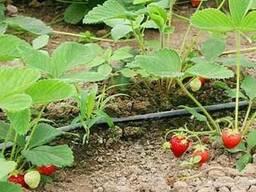 Капельный полив для выращивания клубники в открытом грунте