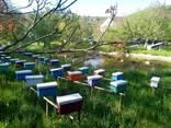 Карпатські бджоломатки - фото 2