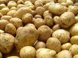 Куплю картофель оптом обьёмами, Беллароза и тд. - фото 3