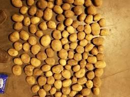 Картофель Беларусь продовольственный, семенной от100 тонн