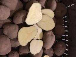 Картофель белый сорт Фантан 5