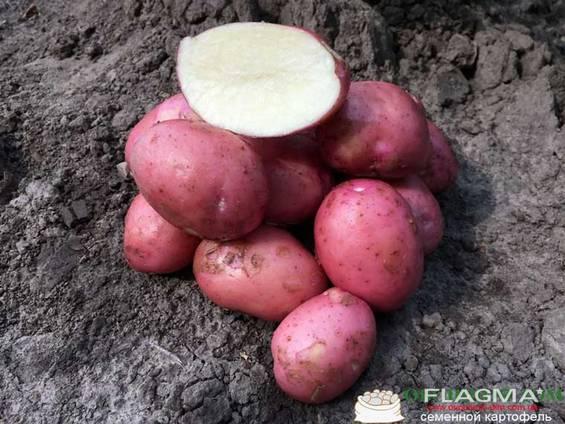 Картофель Кристина 1 репродукция 5кг. сетка.